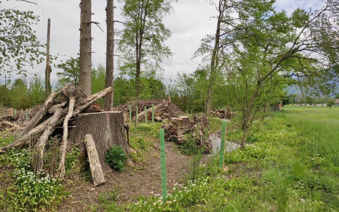 Förderprojekt Zauneidechse & Co., Suterwäldli, Galgenen SZ
